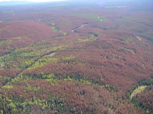 timber_damaged_mountain_pine_beetle.jpg