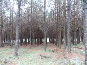 DI 8 yr old pine thinning